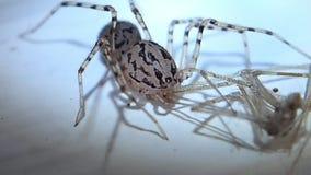 Запятнанный паук с пауком погреба как своя добыча акции видеоматериалы