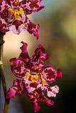Запятнанный пинком цветок орхидеи Cattleya morph Стоковое Изображение