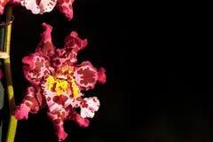 Запятнанный пинком цветок орхидеи Cattleya morph Стоковые Изображения RF