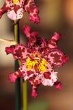 Запятнанный пинком цветок орхидеи Cattleya morph Стоковые Изображения