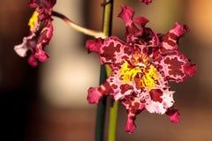 Запятнанный пинком цветок орхидеи Cattleya morph Стоковые Фотографии RF