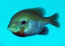 запятнанный портрет скачет вортекс sunfish Стоковые Изображения