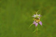 Запятнанный Пчел-бальзам стоковое изображение rf