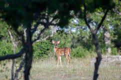 Запятнанный пыжик оленей Whitetailed младенца, страна холма Техаса Стоковая Фотография