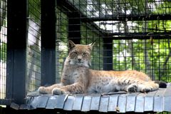 Запятнанный рысь в зоопарке стоковое фото rf