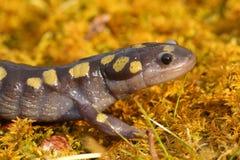 Запятнанный саламандр стоковое изображение