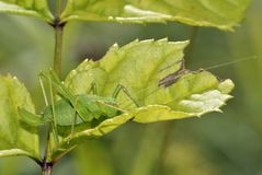 запятнанный сверчок bush Стоковое Фото