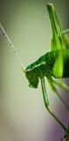 запятнанный сверчок bush Стоковое Изображение RF