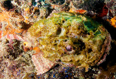 запятнанный скорпион рыб Стоковое Изображение