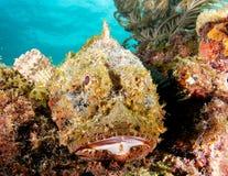 запятнанный скорпион рыб Стоковые Фотографии RF