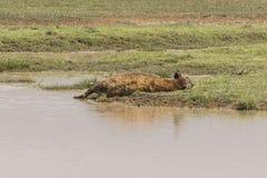 Запятнанный спать гиены Стоковое Изображение RF