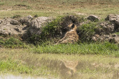 Запятнанный спать гиены Стоковое Изображение
