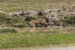 Запятнанный спать гиены Стоковые Изображения