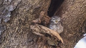 Запятнанный спать Owlet Стоковые Фото