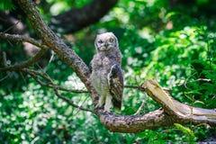 Запятнанный сыч орла сидя на ветви дерева в Кейптауне стоковая фотография