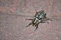 Запятнанный таракан идя на пол Стоковое Изображение