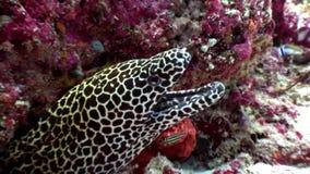 Запятнанный угорь мурены леопарда в поисках underwater еды на морском дне в Мальдивах акции видеоматериалы
