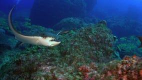 Запятнанный луч орла плавает дальше глубокий, скалистый риф видеоматериал
