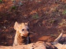 Запятнанный щенок гиены Стоковые Фотографии RF