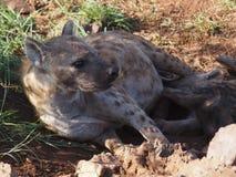 Запятнанный щенок сосунка гиены Стоковое Изображение RF