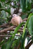запятнанный dove стоковое фото