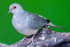 запятнанный dove Стоковая Фотография