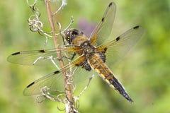 запятнанный dragonfly 4 истребителя Стоковые Изображения
