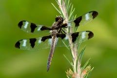 12-запятнанный Dragonfly шумовки Стоковые Фото
