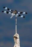 12-запятнанный Dragonfly шумовки Стоковые Изображения