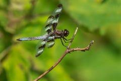 12-запятнанный Dragonfly шумовки Стоковые Изображения RF