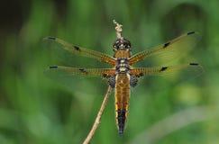 запятнанный dragonfly 4 истребителя Стоковая Фотография RF