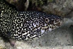 Запятнанный Eel Moray Стоковые Фотографии RF