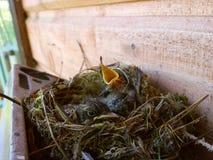 запятнанный flycatcher Стоковая Фотография