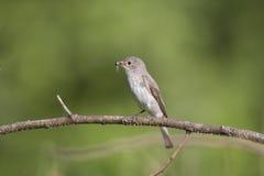 запятнанный flycatcher Стоковое Фото