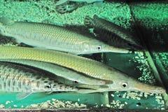 Запятнанный Gar (Lepisosteus Oculatus) в аквариуме Стоковое фото RF