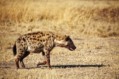 Запятнанный hyena Стоковая Фотография RF