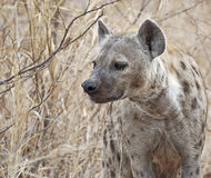 запятнанный hyena стоковое изображение