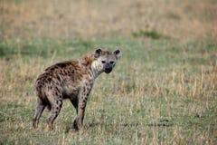 запятнанный hyena crocuta Стоковое Изображение RF