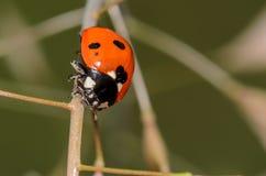 Запятнанный Ladybug Стоковое Изображение