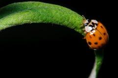 Запятнанный Ladybug Стоковые Фото