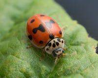 10-запятнанный ladybug, decempunctata Adalia Стоковые Изображения RF