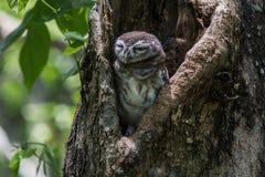 Запятнанный owlet в дереве Стоковое Изображение RF