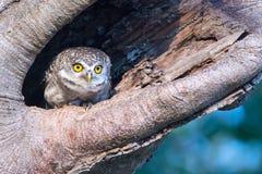 Запятнанный Owlet в полости природы стоковая фотография rf
