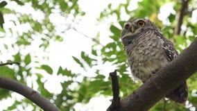 Запятнанный owlet запятнал brama owletAthene смотря нас в природе акции видеоматериалы