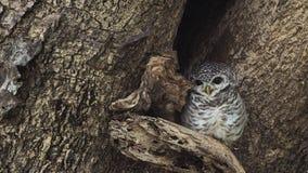 Запятнанный Owlet на отверстии дерева Стоковые Фото