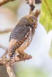 Запятнанный owlet садясь на насест на ветви Стоковое Изображение RF
