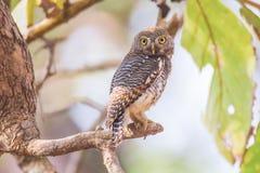 запятнанный owlet Стоковое Изображение