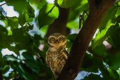 запятнанный owlet Стоковые Фотографии RF