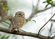запятнанный owlet Стоковое Фото