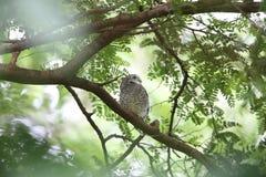 запятнанный owlet Стоковая Фотография RF